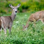 Deer Harvest Numbers Up Across Wisconsin, Varied in Marinette County